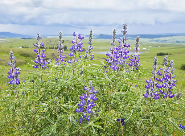 Wild Lupine Poster featuring the photograph Wild Lupine by Theresa Tahara