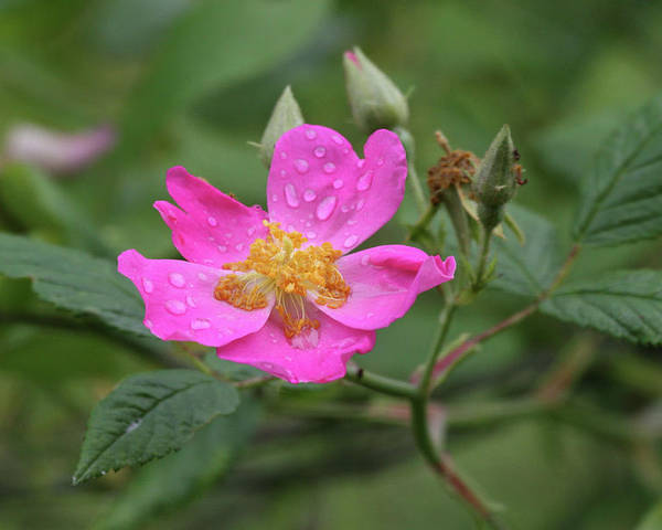 Wild Rose Poster featuring the photograph Wild Rose by Reva Dow