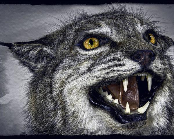 Wildcat Poster featuring the photograph Wildcat Ferocity by Daniel Hagerman