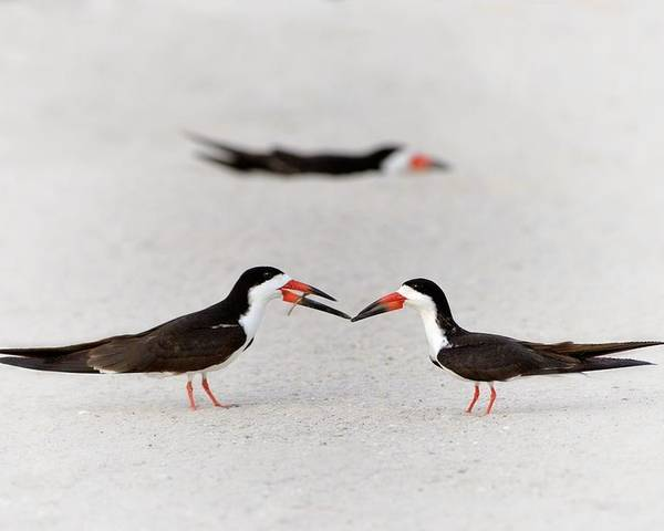 Black Skimmer Poster featuring the photograph Will You Be Mine? by Don Schroder