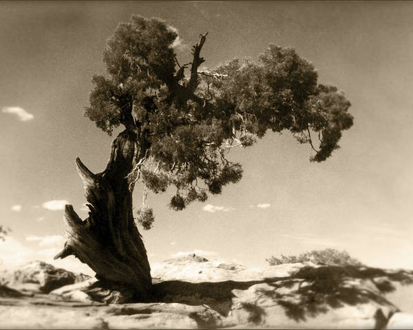Tree Poster featuring the photograph Wind Swept Tree by Scott Norris