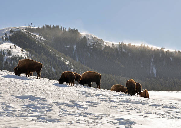 Bison Poster featuring the photograph Winter Bison Herd In Yellowstone by Bruce Gourley
