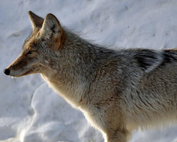 Coyote Poster featuring the photograph Winter Coyote In Yellowstone by Bruce Gourley