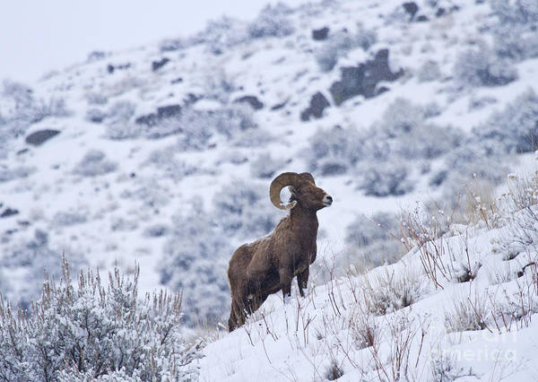 Bighorn Poster featuring the photograph Winter Ram by Mike Dawson