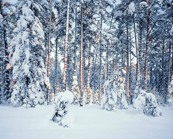 Winter Poster featuring the photograph Winter Time In Forest by Romeo Koitmae