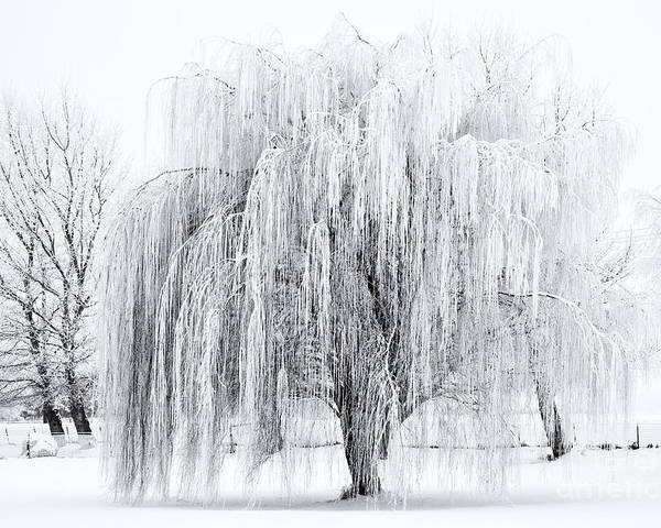 Willow Poster featuring the photograph Winter Willow by Mike Dawson