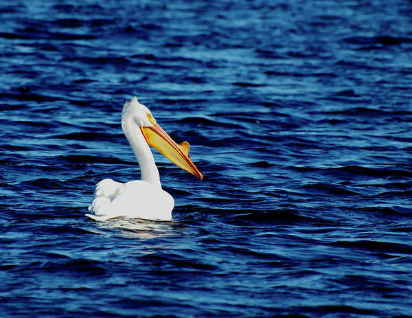 American White Pelican Poster featuring the photograph Wisconsin Pelican by Thomas Young