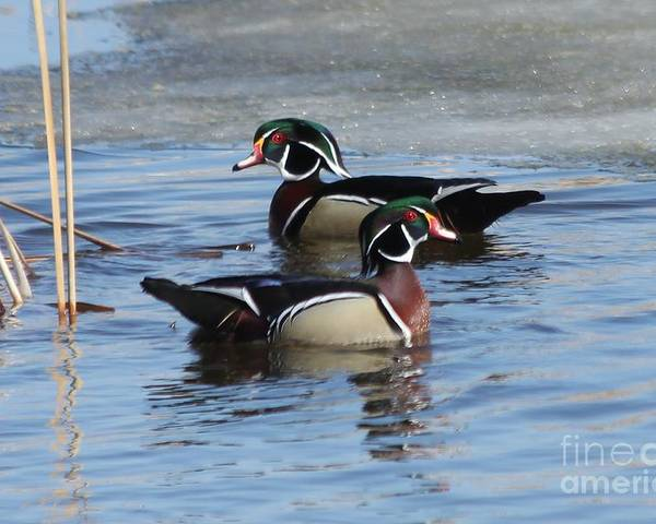 Wood Duck Poster featuring the photograph Wood Duck Drake Pair by Lori Tordsen