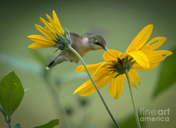 Ruby-throated Hummingbird Poster featuring the photograph Yellow And Green by Cheryl Baxter