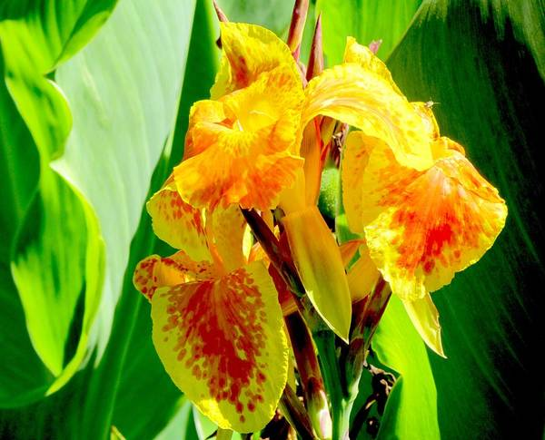 Canna Lily Poster featuring the photograph Yellow And Orange Canna Lily by Elaine Weiss