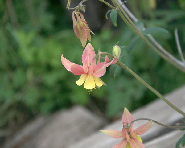 Yellow Poster featuring the photograph Yellow Columbine 2 by Frank Madia
