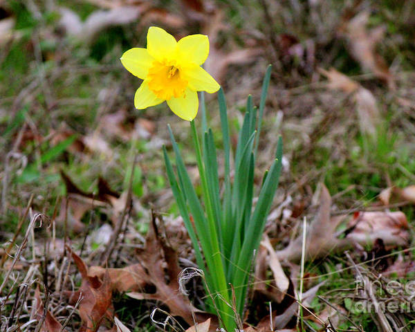 Yellow Daffodils Poster featuring the photograph Yellow Daffodil At Lee Gardens by Kathy White