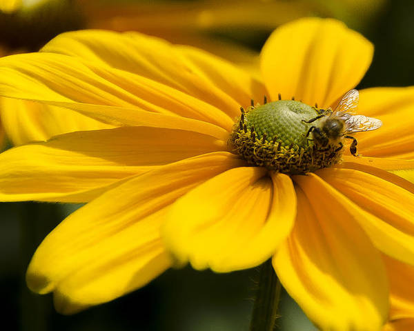 Daisy Poster featuring the photograph Yellow Daisy by Irene Theriau