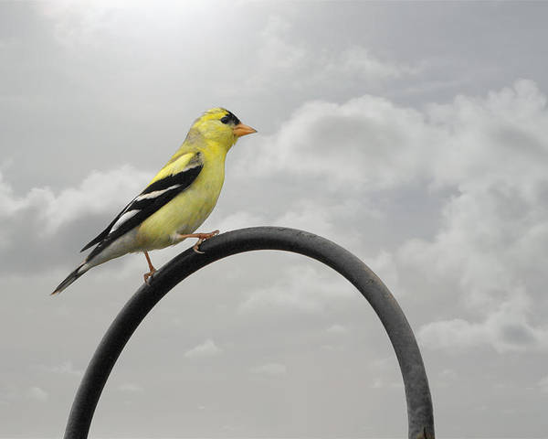 Yellow Finch Poster featuring the photograph Yellow Finch A Bright Spot Of Color by Christine Till