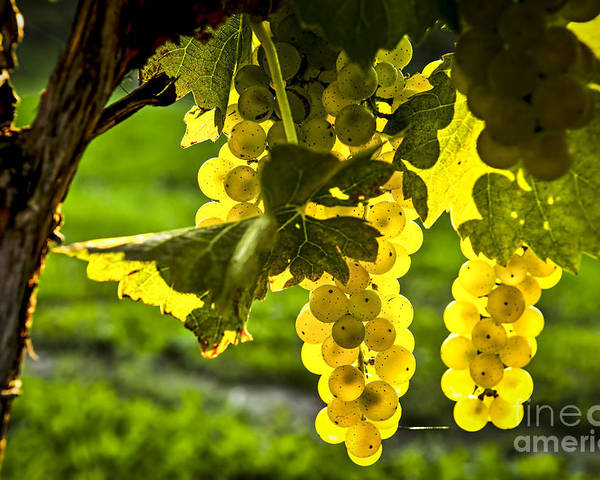 Green Poster featuring the photograph Yellow Grapes In Sunshine by Elena Elisseeva