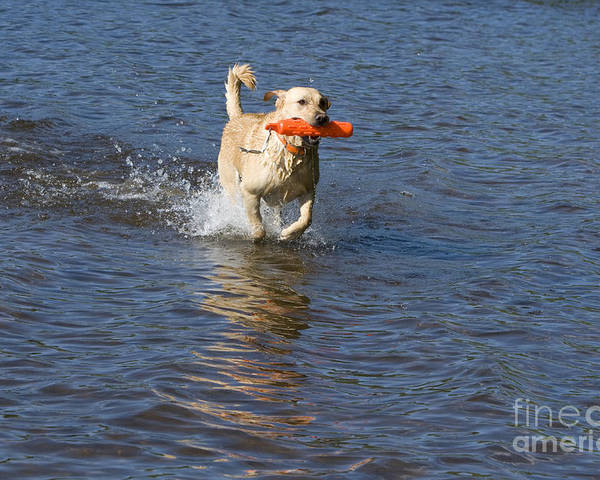 Animal Poster featuring the photograph Yellow Lab Retrieving Toy by Linda Freshwaters Arndt