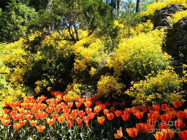 Botanical Garden Poster featuring the photograph Yellow Orange - Springtime by Phil Banks