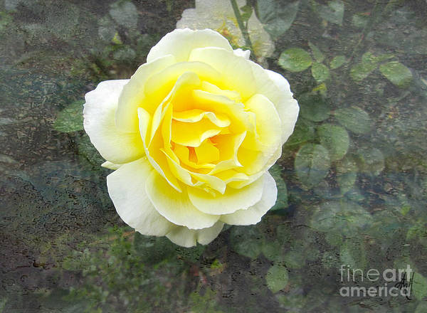 Yellow Rose Of Summer Poster featuring the photograph Yellow Rose Of Summer by Victoria Harrington