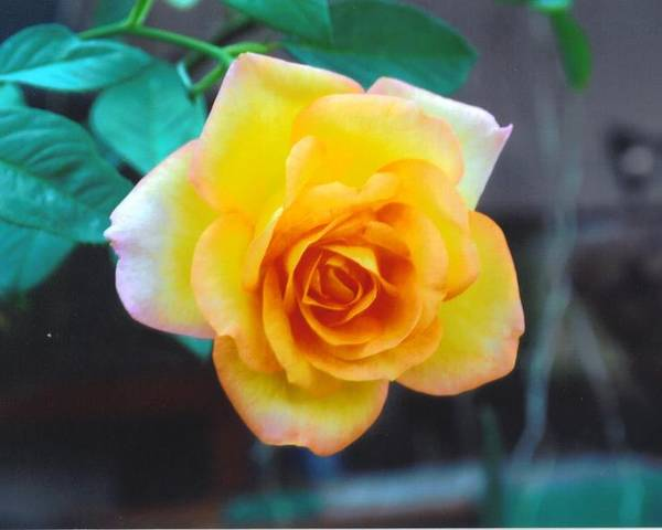 Home Grown Poster featuring the photograph Yellow Rose by Robert Floyd