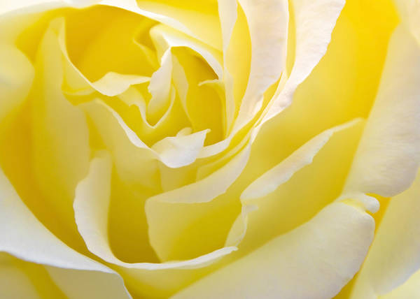 Rose Poster featuring the photograph Yellow Rose by Svetlana Sewell