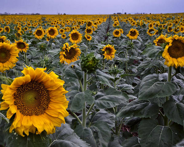 Yellow Poster featuring the photograph Yellow Sunflower Field by Dave Dilli