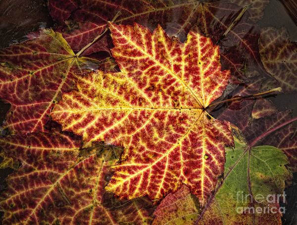 Fall Poster featuring the photograph Yellow Veins by Claudia Kuhn