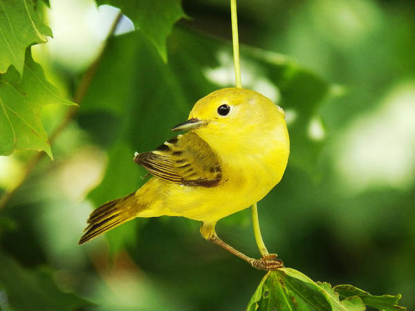 Portrait Poster featuring the photograph Yellow Warbler by Zinvolle Art