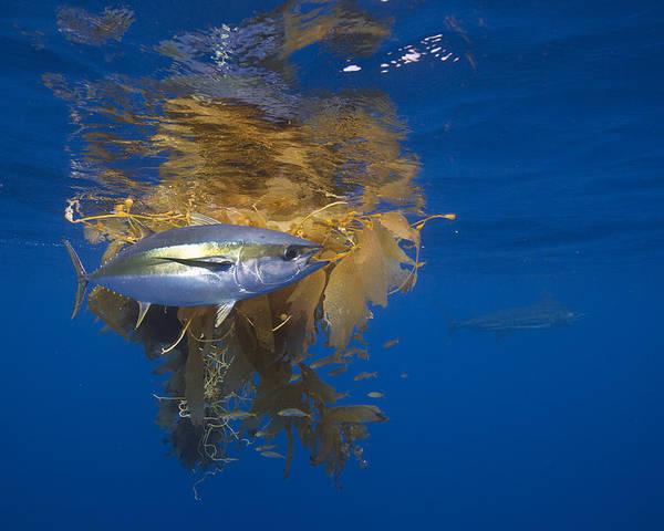 Richard Herrmann Poster featuring the photograph Yellowfin Tuna And Kelp Nine-mile Bank by Richard Herrmann