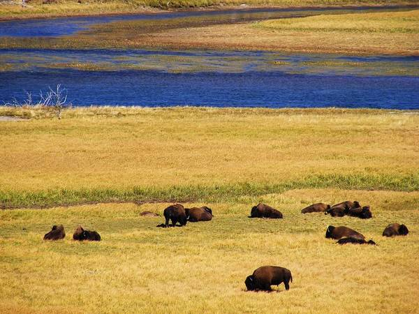 Yellowstone Poster featuring the photograph Yellowstone Bison Herd by Indigo Wild Photography