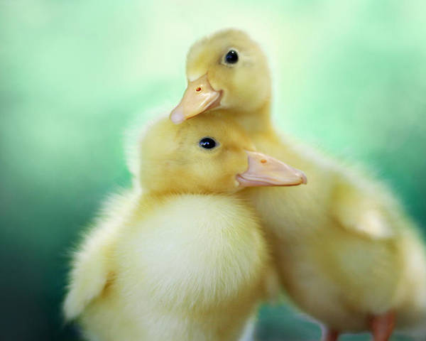 Duck Poster featuring the photograph You Make Me Smile by Amy Tyler