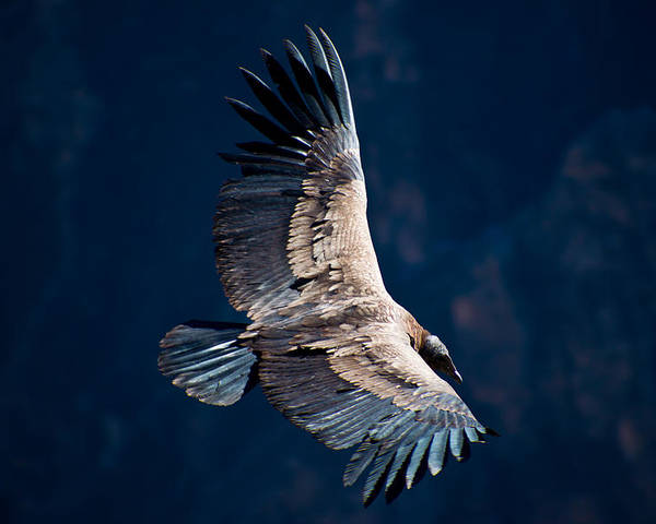 Peru Poster featuring the photograph Young Andean Condor by Kent Nancollas