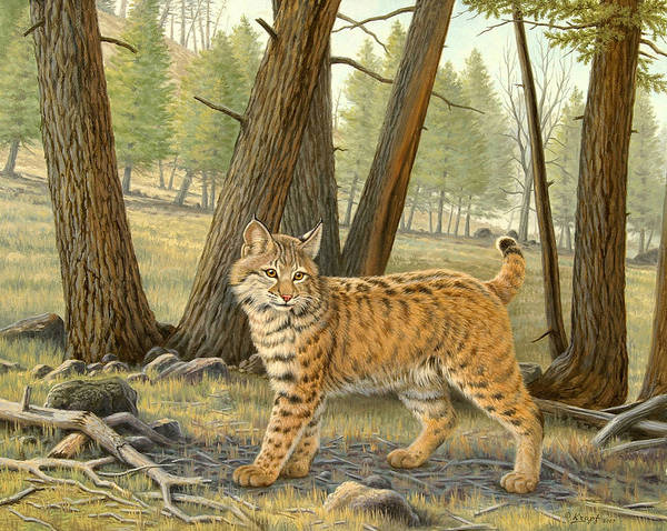 Wildlife Poster featuring the painting Young Bobcat  by Paul Krapf