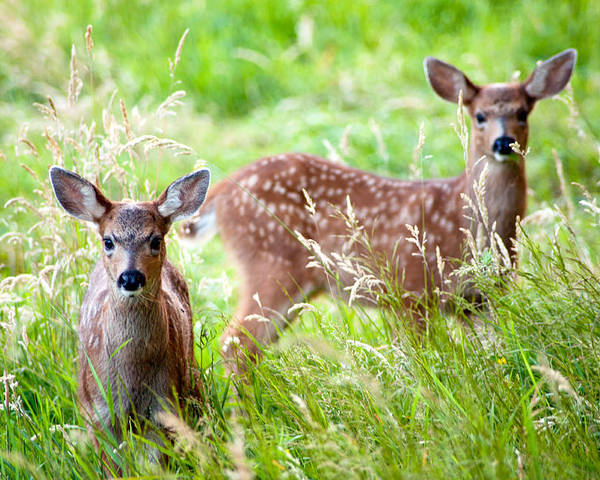 Deer Poster featuring the photograph Young Deer by Crystal Hoeveler