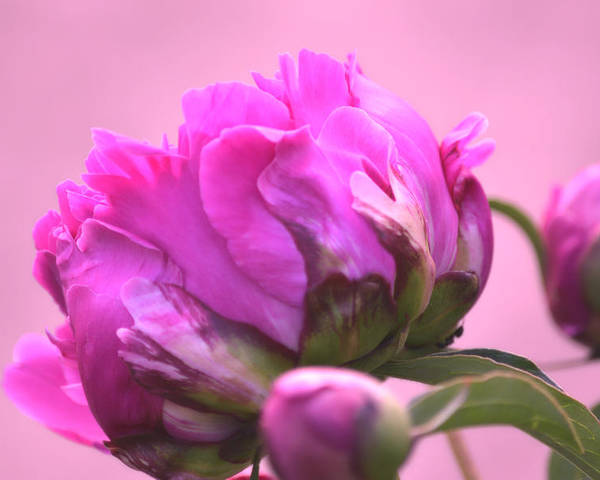 Art Poster featuring the photograph Young Peony I by Joan Han