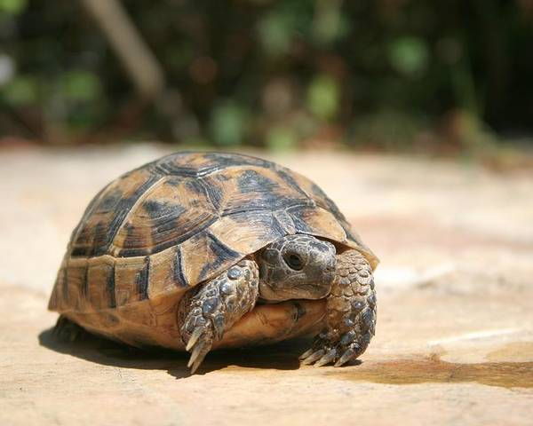 1dc24407f Tortoise Poster featuring the photograph Young Tortoise Emerging From Its  Shell by Taiche Acrylic Art