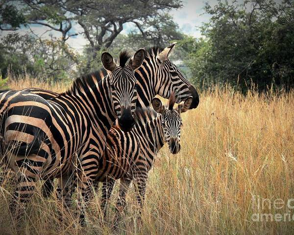 Zebra Poster featuring the photograph Zebra Family by David Gardener