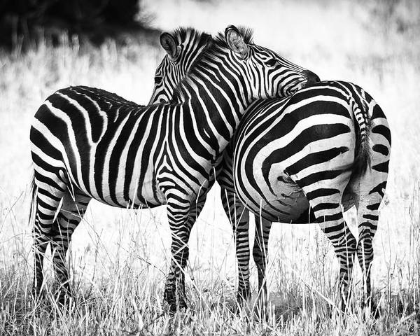 3scape Poster featuring the photograph Zebra Love by Adam Romanowicz