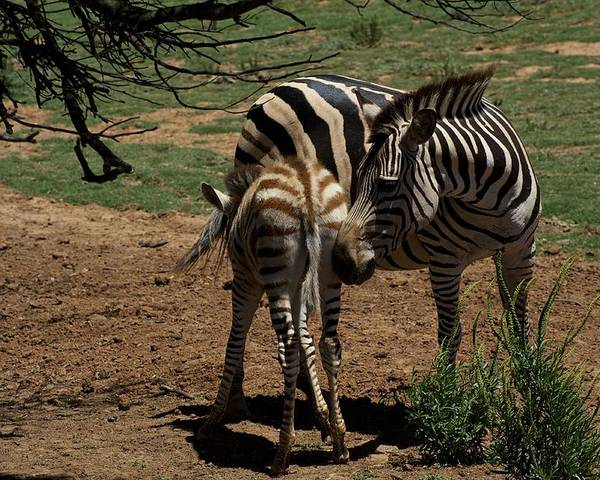 Australian Poster featuring the photograph Zebra Mother And Foal by Graham Palmer
