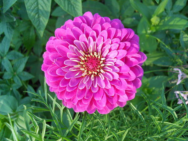 Flowers Poster featuring the photograph Zinnia - Pink by Coleen Harty
