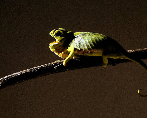 Chameleon On Branch; Wildlife Poster featuring the photograph Chameleon On Branch by Trevor C Steenekamp