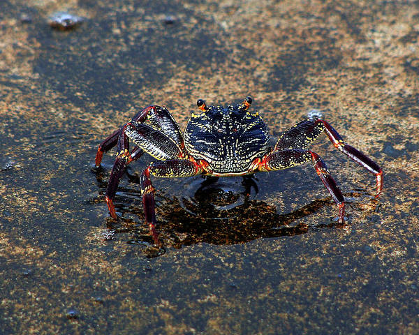 Crab In Pool With Reflection Poster featuring the photograph Crab And Reflection by Trevor C Steenekamp
