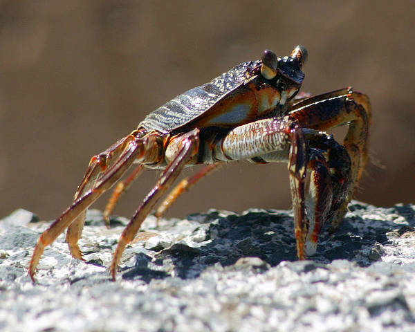 Crab On Rock; Wildlife Poster featuring the photograph Crab On Rock by Trevor C Steenekamp