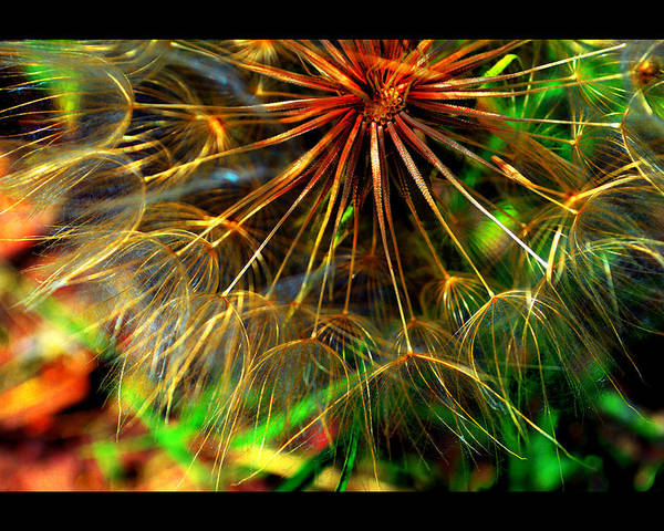 Native Plants Poster featuring the photograph Dandelion Dreamtime by Susanne Still