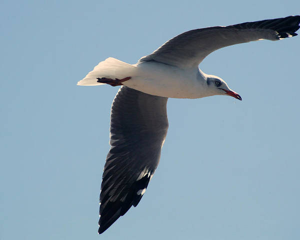 Seagull In Flight; Bird; Wildlife Poster featuring the photograph Seagull Flying by Trevor C Steenekamp