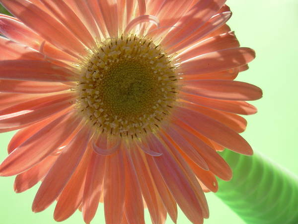 Gerbera Photographs Poster featuring the photograph 0769 by Kimberlie Gerner