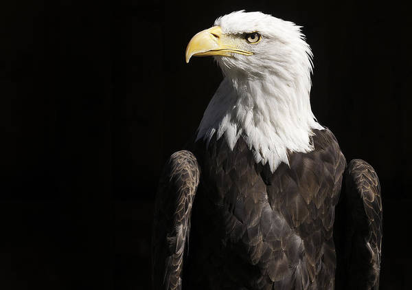 American Bald Eagle Poster featuring the photograph American Bald Eagle by Karin Haas