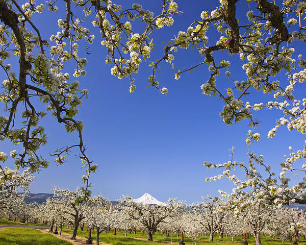 Blue Sky Poster featuring the photograph Apple Blossom Trees In Hood River by Craig Tuttle