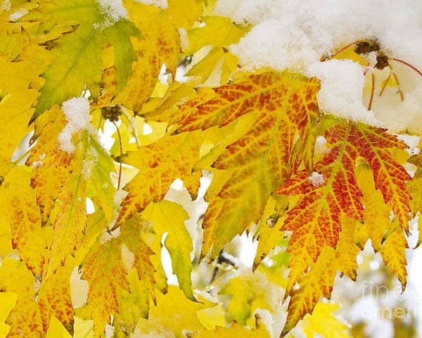 Snow Poster featuring the photograph Autumn Snow by James BO Insogna