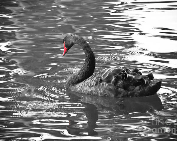 Swan Poster featuring the photograph Black Swan With Red Beak by Yurix Sardinelly
