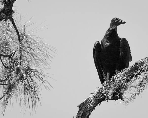 1037 Poster featuring the photograph Black Vulture by Marx Broszio